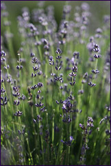 Pure, high-altitude lavender essential oil is used in all of our New Mexico lavender products.